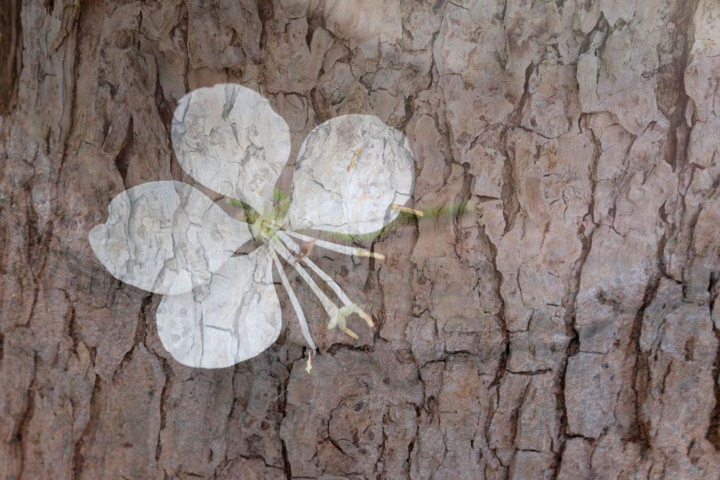 Masja - Vlinderbloem